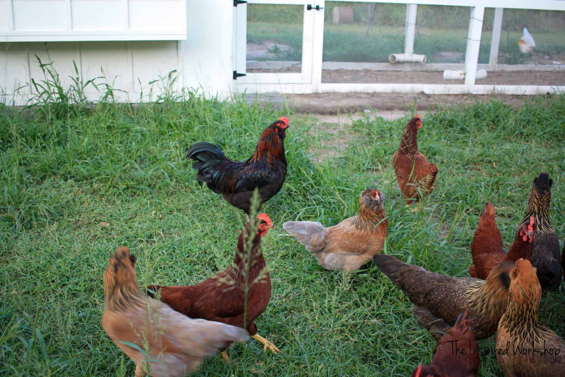 DIY Chicken Coop Chickens Free Ranging