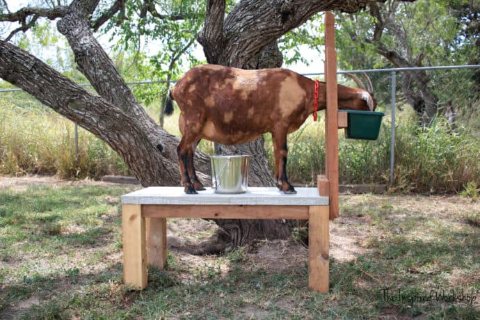 DIY Milk Stand for Goats - dairy goat on the milk stand to get milked