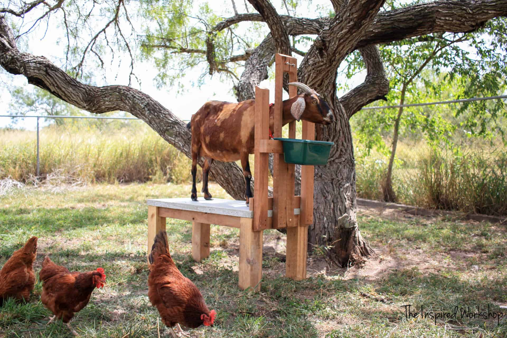 Milk stand for milking dairy goats with goat modeling how to use the milk stand